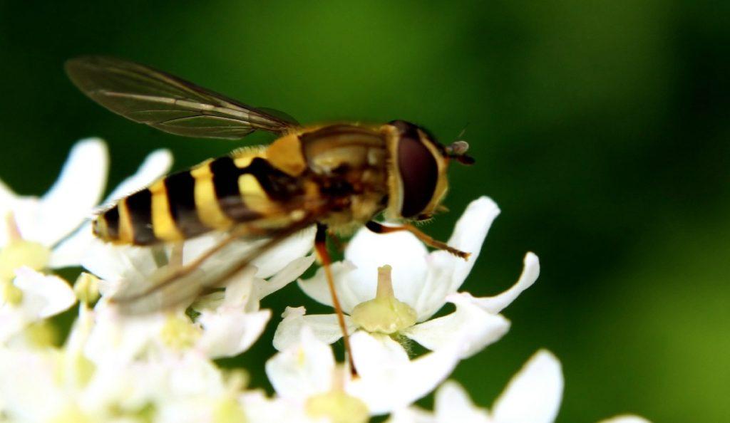 Hornet and flower